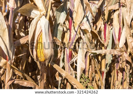 Drooping Ear of Autumn Corn - Dry ear of late season corn that is drooping in the autumn sun and is set among dry corn stalks.  Selective focus on the yellow ear.  Copy space in right frame if needed. - stock photo