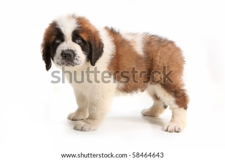 Droopy Saint Bernard Puppy Looking at the Viewer on White Background - stock photo