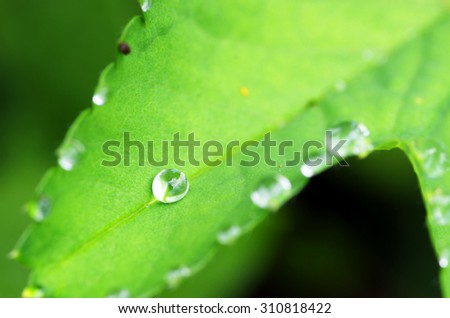 Droplets of dew on fresh green leaves - stock photo
