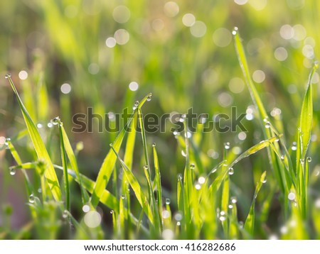 Droplets of dew on the grass glowing in the morning sun for  background