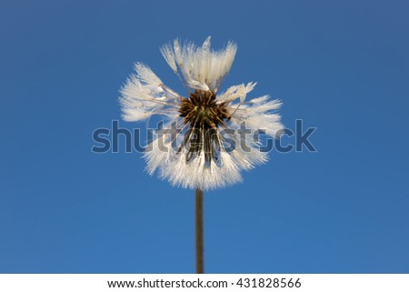 drops of dew on a dandelion flowers, blue background - stock photo