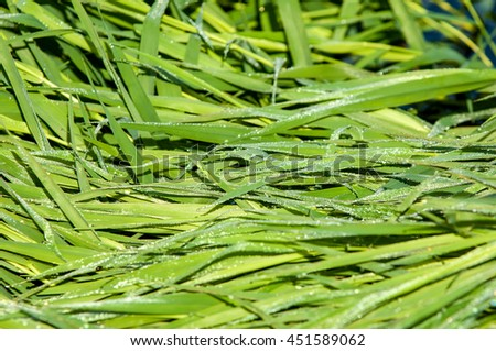 drops of dew on a green grass. Water drops on the green grass (Shallow Dof). Close up of fresh thick grass with water drops in the early morning - stock photo