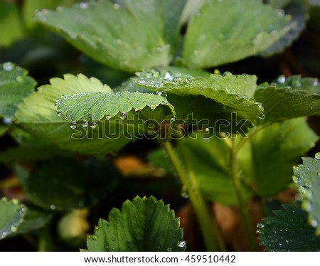 drops of dew on a green leaf strawberries/beautiful fresh natural composition