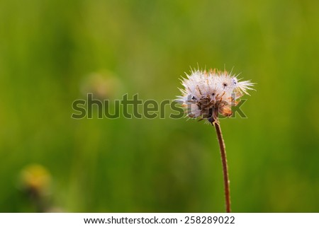 Drops of dew on the flower grass with green  background - stock photo