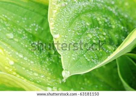 Drops of dew water on a fresh green hosta leaf - shallow DOF - stock photo