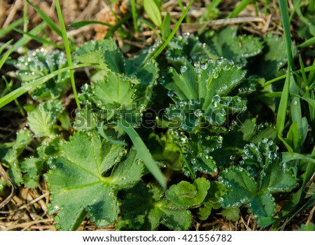 drops of water after rain on the leaves Lady's Mantle or Alchemilla - stock photo