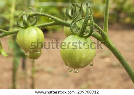 Drops of water after rain on tomato fruit. Unripe green tomato on bushes. Ripening vegetables in a home garden. Blurred background. - stock photo