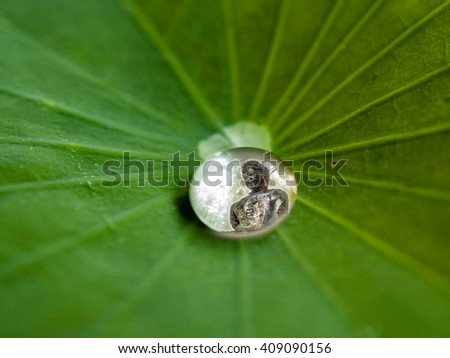Drops of water, rolling water on a lotus leaf.  focus to Bud-da in water drop.(LOTUS EFFECT). - stock photo