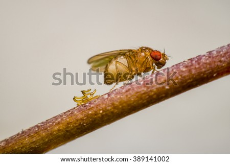 Drosophila lay eggs on the branches. - stock photo