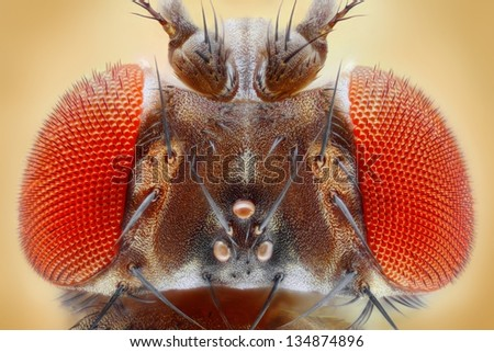 Drosophila melanogaster extreme close up with 25x magnification using a special objective. Study of fruit fly head. - stock photo