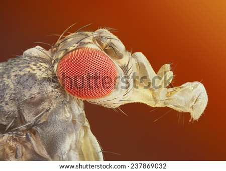 Drosophila melanogaster extreme sharp and detailed macro - stock photo
