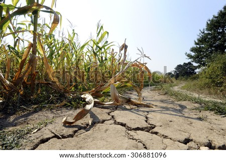 Drought at corn field - stock photo