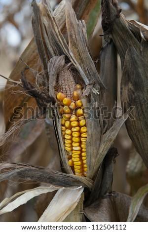 drought damaged corn crop - stock photo