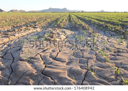 Drought Parched Recently Planted Desert Cotton Field - stock photo