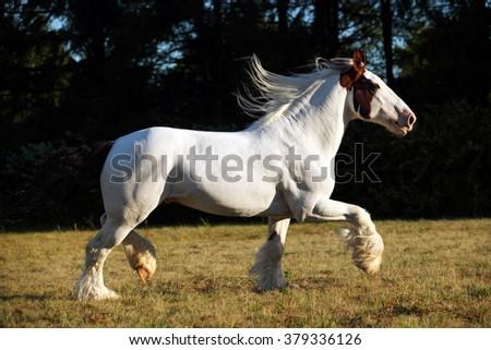 Drum horse stallion runs gallop in evening down - stock photo