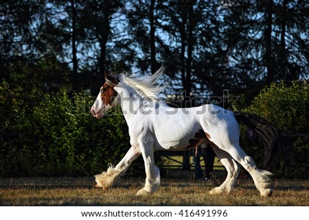 Drum horse stallion runs gallop in evening meadow - stock photo