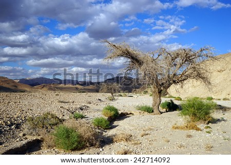 Dry acacia tree in Negev desert, Israel                                - stock photo