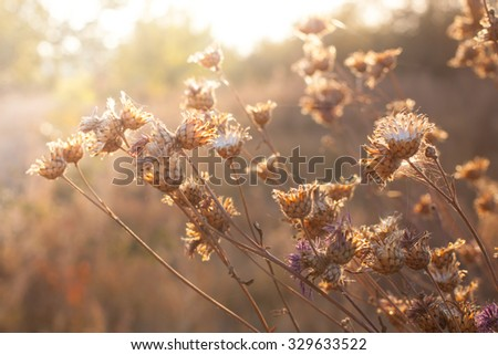 dry autumn flowers on the field in sunset light nature gold color background - stock photo