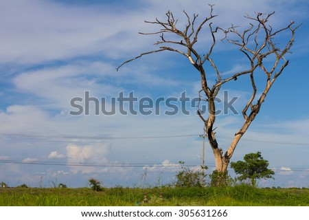 Dry bare tree dead set among paddy fields, which are pole and power lines on the road.