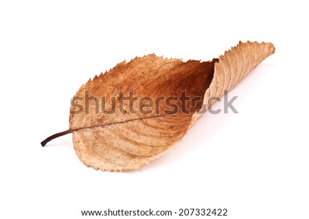 dry beech leaf on white background - stock photo