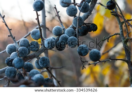 dry blackthorn, Prunus spinosus close up - stock photo