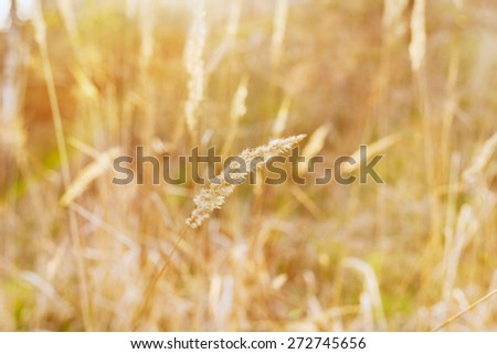 dry blade of grass in the sunset light on a field, nature background, selective focus, shallow DOF - stock photo