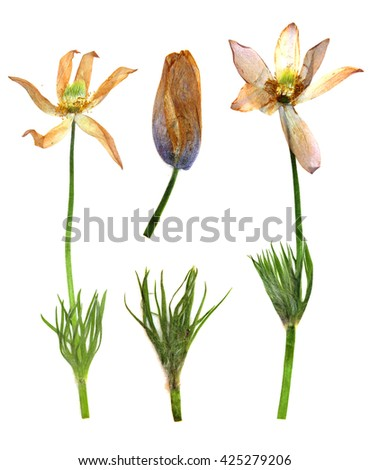 dry branch flower snowdrop and fresh green leaf close-up early in the spring, isolated on a white background elements for scrapbook, object, pressed, border, edging - stock photo