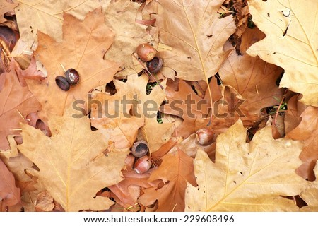 Dry brown oak leaves with few acorns on the ground