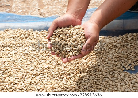 dry coffee beans in farmer hand at plantation on Pha Hi mountrain, Chiangrai Thailand - stock photo