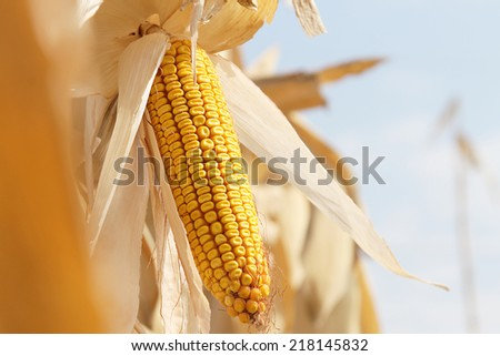 Dry corn on the stalk in the field - stock photo