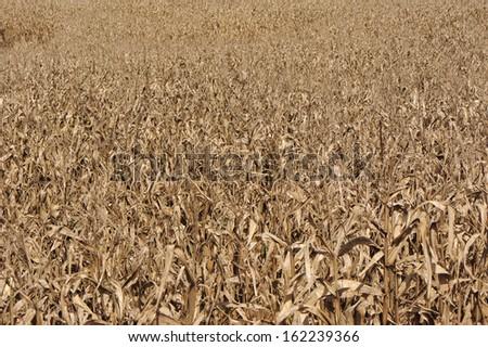 Dry corn plantation - stock photo