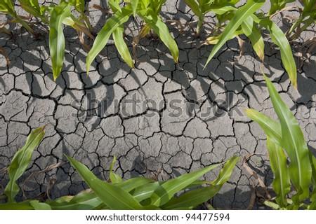 Dry drought stricken farm corn field dirt - stock photo