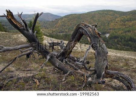 Dry, fallen tree. - stock photo