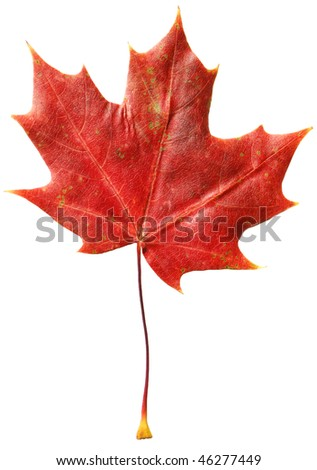 Dry flat fallen Canadian maple leaf isolated on white