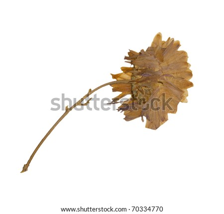 Dry Flower - stock photo