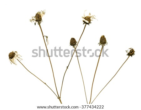 Dry flower on a white background