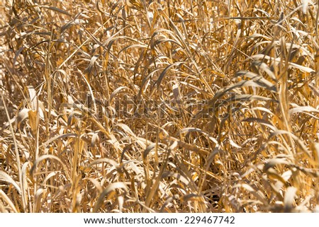 Dry grass on the bank of the river in the background  - stock photo