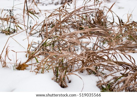 Dry grass on the snow in Russia in the daytime