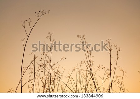 Dry grass silhouette in sunset. - stock photo