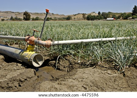 Dry irrigation pipe dripping water next to a crop of onions nearing the harvest stage in Central California - stock photo