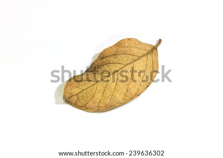 dry leaf close up on the white background  - stock photo