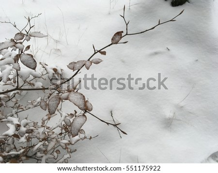 Dry leaves covered in snow