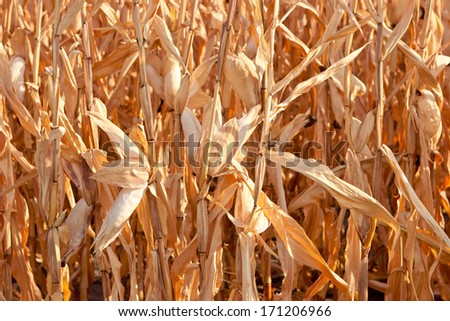 Dry maize field after a long drought period  - stock photo