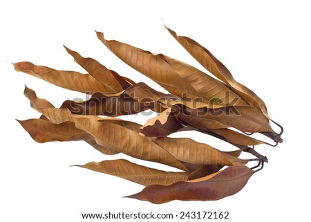 Dry Mango leaves isolated on white background and clipping path