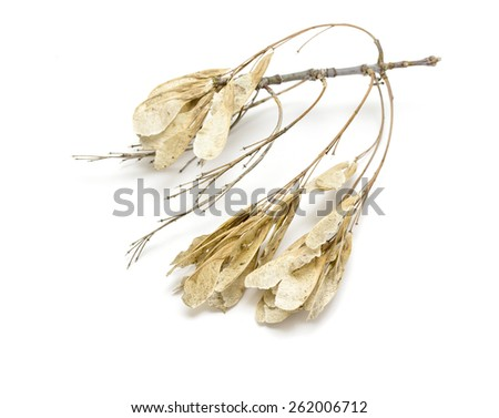 dry maple seeds on a white background
