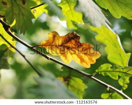 Dry oak leaf among fresh ones - stock photo