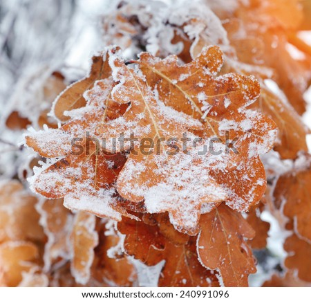 Dry oak leaves with frost - stock photo