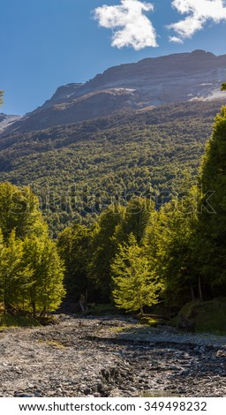 dry out river and beech forest in New Zealand - stock photo
