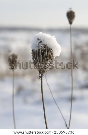 dry plants in snow - stock photo