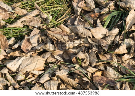 Dry poplar leaves. Fallen.